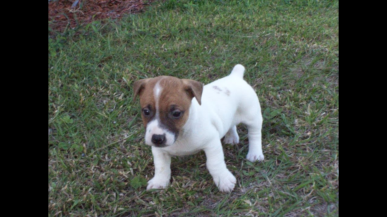 Jack Russell, Puppies, Dogs, For Sale, In Denver, Colorado ...