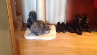 Реакция котов на кошачью мяту