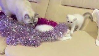 Британские котята 1,5 месяца. Колор-поинт.