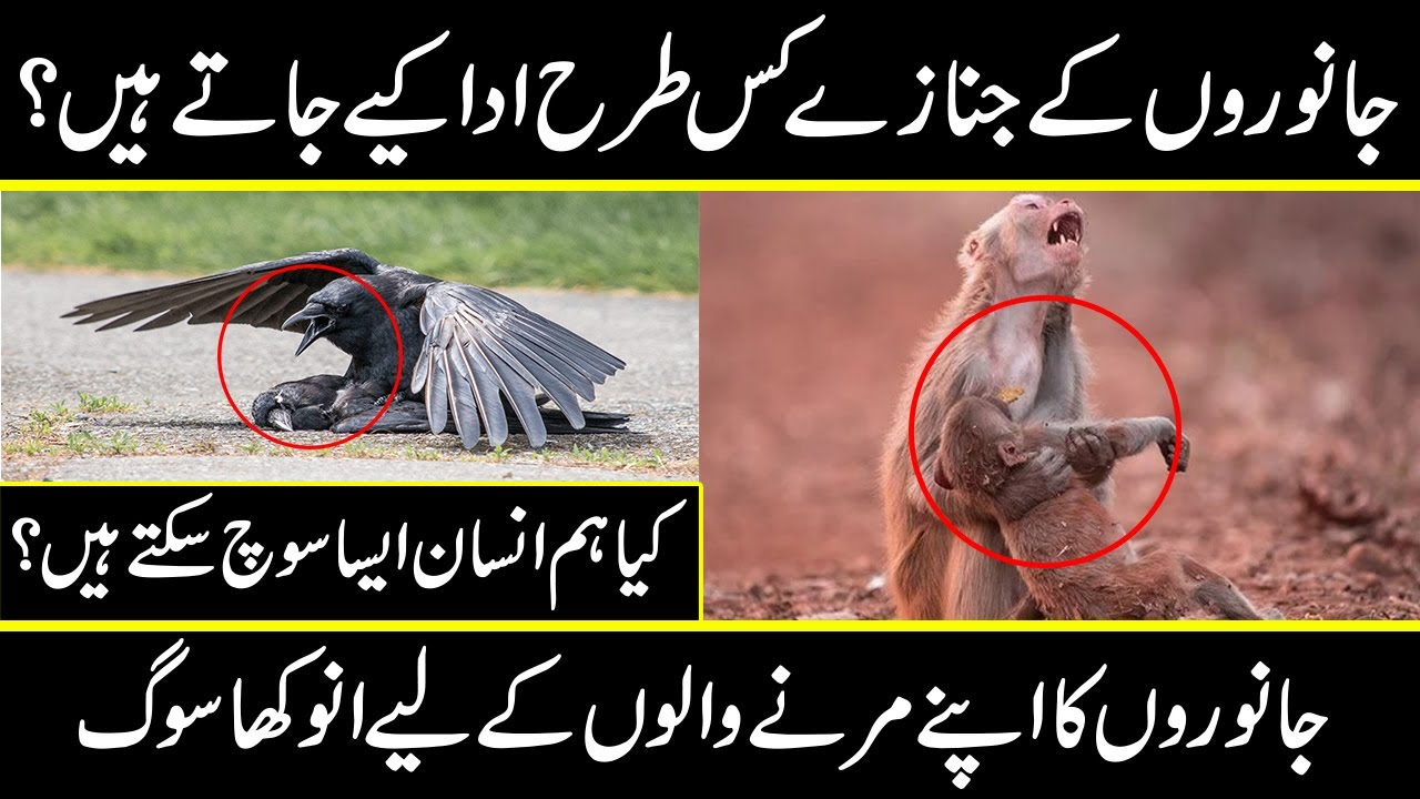 how animals and birds share feelings of loss their fellow in urdu hindi | Urdu Cover documentary