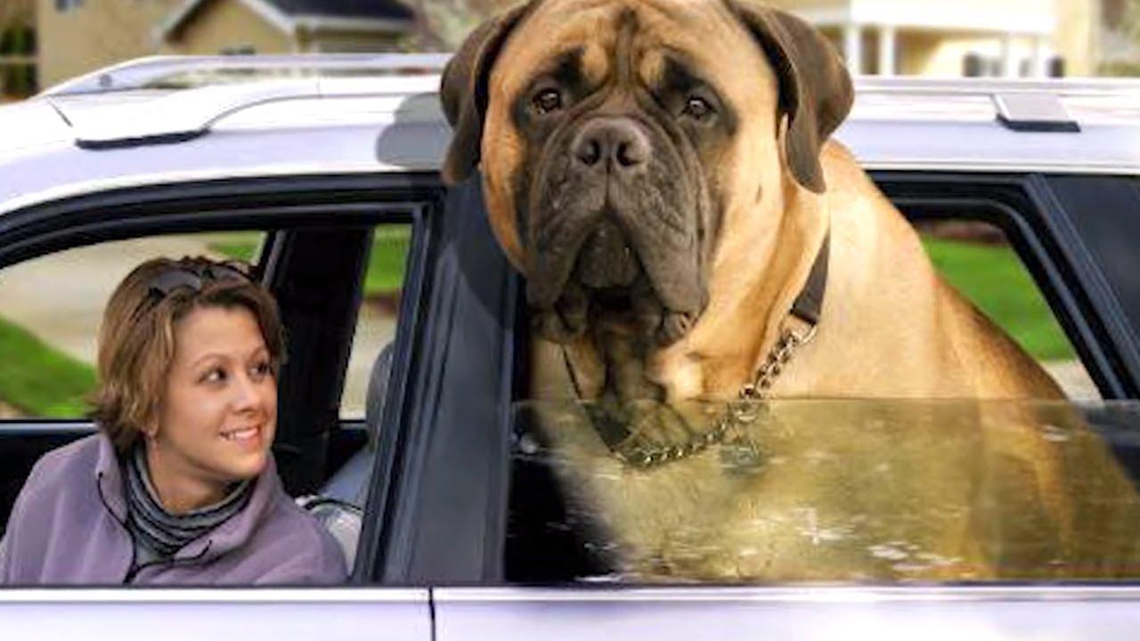 10 Cachorros Anormalmente Grandes do Mundo