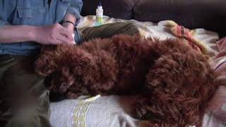たれ耳犬は耳が汚れやすいので、こまめな耳掃除が必要です。それに伴う...