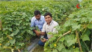 অফসিজনে শসা চাষ(Using Mulching film)-৭০ দিনে বিঘা প্রতি আয় ৬০ হাজার টাকা