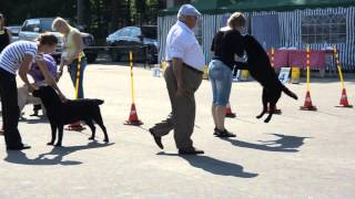 National Championship Labrador Retriever 2013- Bob Black Color