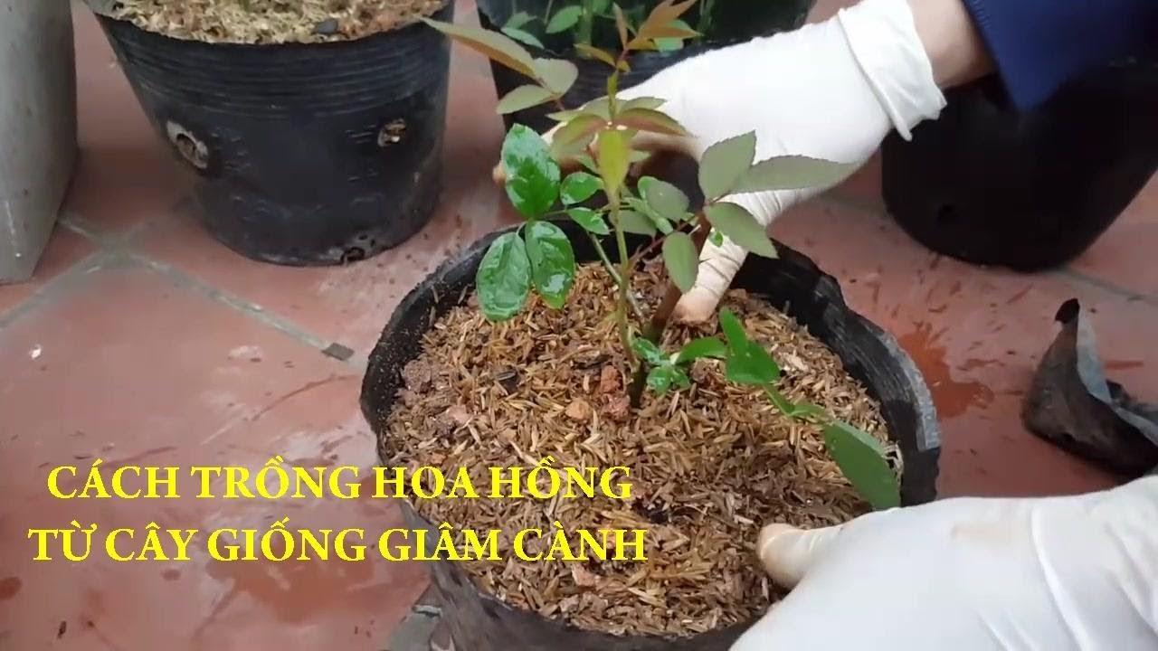 Chia sẻ cách trồng hoa hồng từ cây giống giâm cành