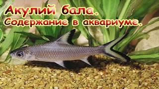 Акулий балу содержание. Аквариумные рыбки. Барбус.