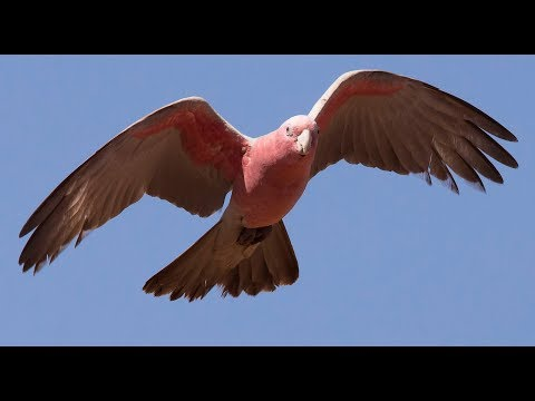 Unique And Fascinating Bird - Galah