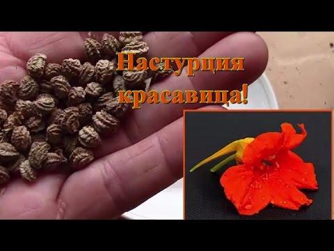 Семена.  Подготовка семян на рассаду.  Семена настурции.