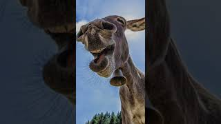 Funny and laughing animals #Shorts