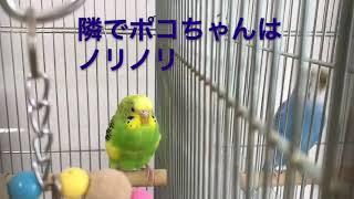 桃太郎の歌練習インコ