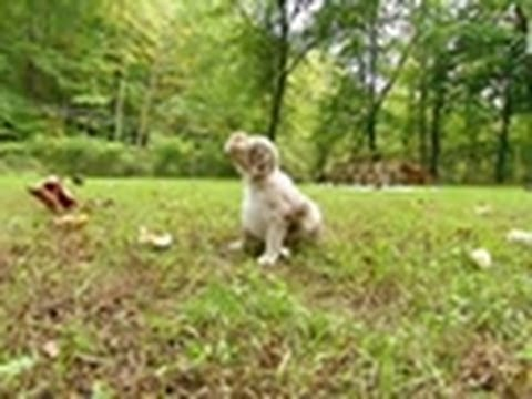 Aussie Pups' First Venture Outside | Too Cute