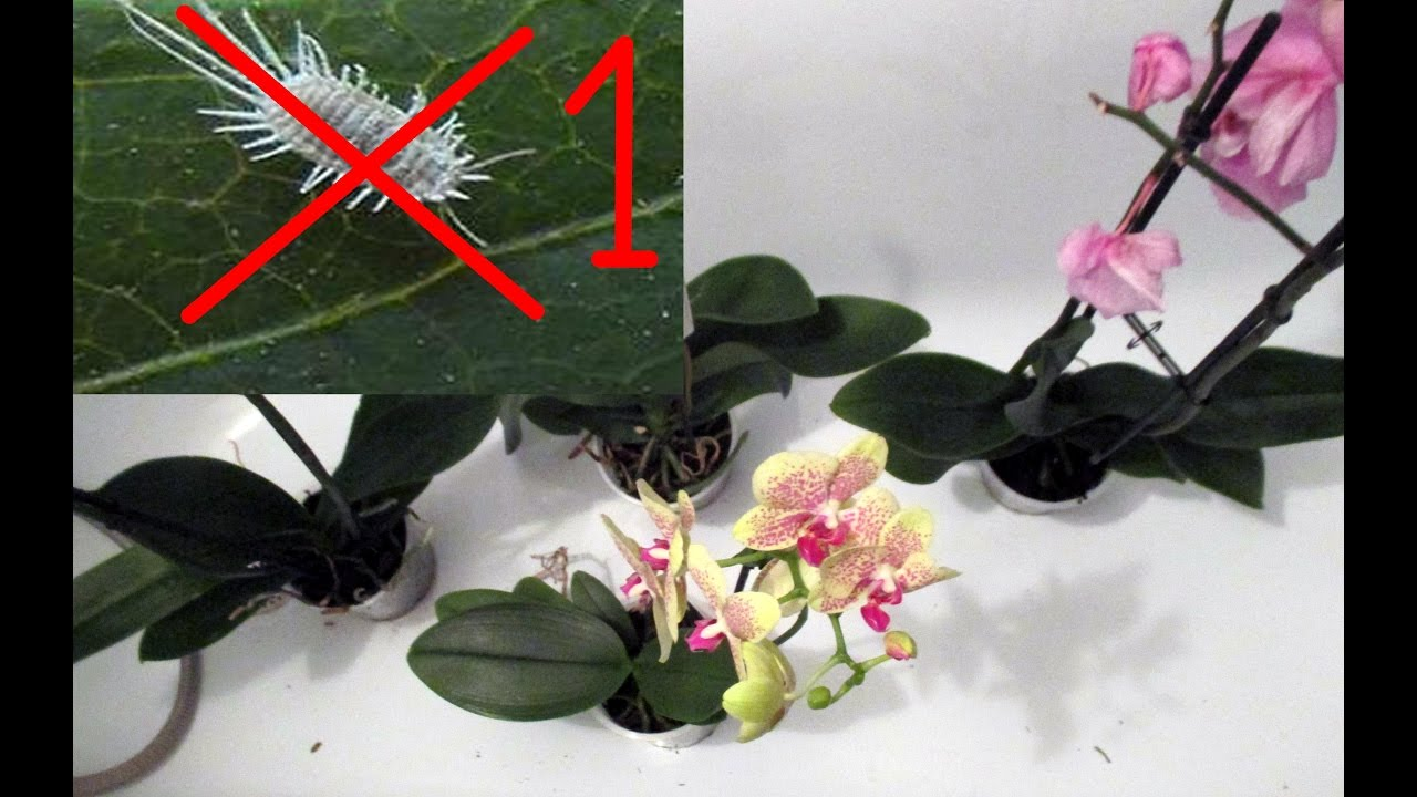 Как фитовермом обработать орхидею