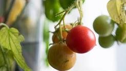 Kokeilussa tomaatin ja chilin kypsytys maljakossa, osa  2/2