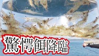 【驚愕餌】堤防から生きエビの泳がせはとにかくでかいのばかり・・・