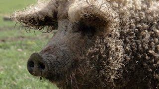 Волосатые свиньи в Карелии