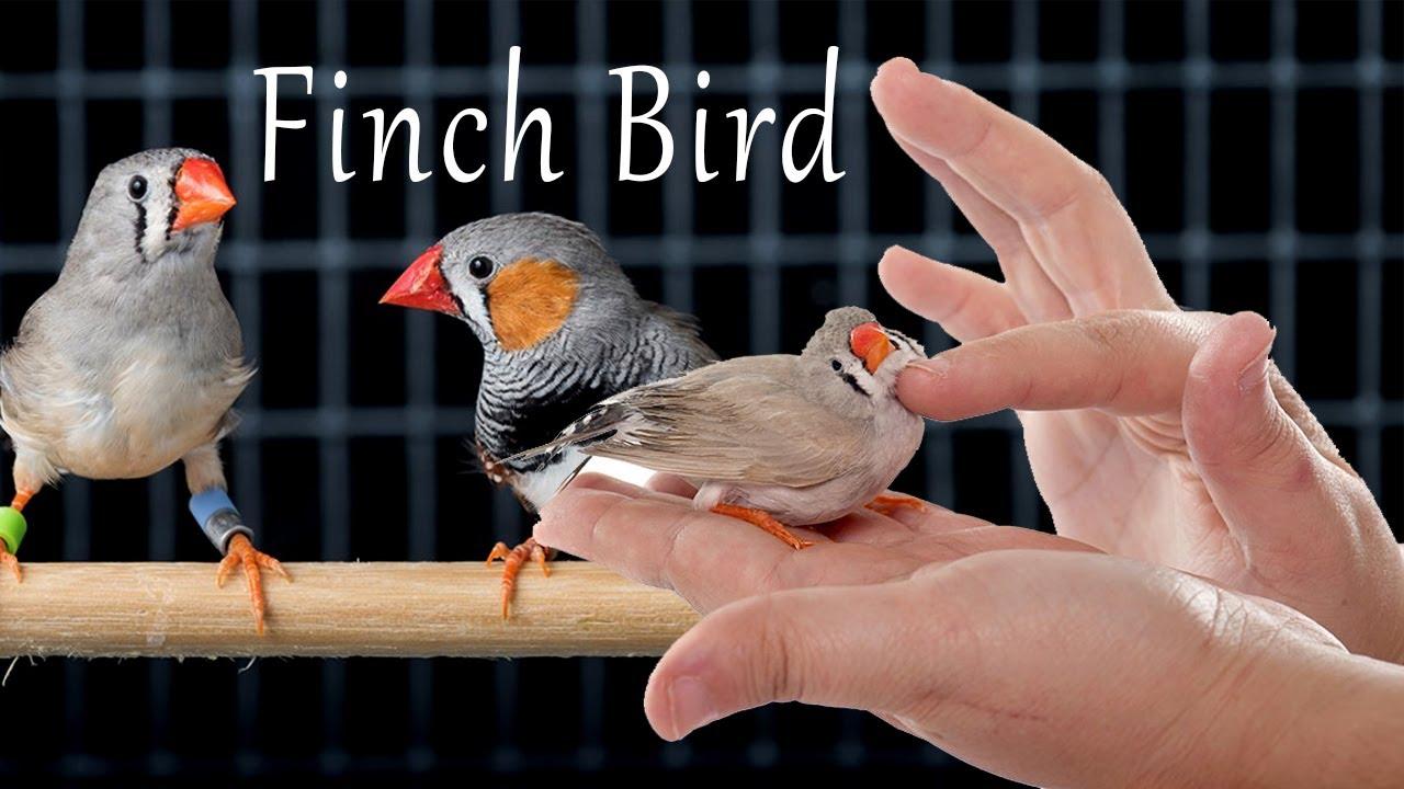 Finch Bird Sounds,Food,Movement - YouTube