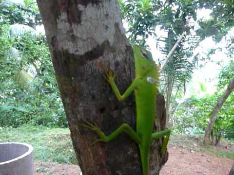 Sri Lanka,ශ්රී ලංකා,Ceylon,Green Lizard on a tree