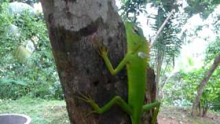 Sri Lanka,ශ්‍රී ලංකා,Ceylon,Green Lizard on a tree