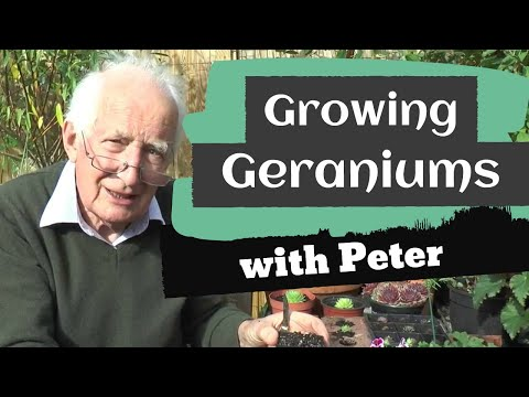 Growing Geraniums