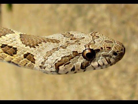 Hemorrhois nummifer (Coin snake) Δρόπης  - Cyprus
