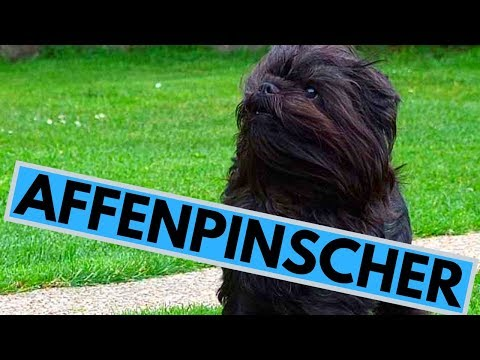 Affenpinscher Dog Breed - Facts And Information