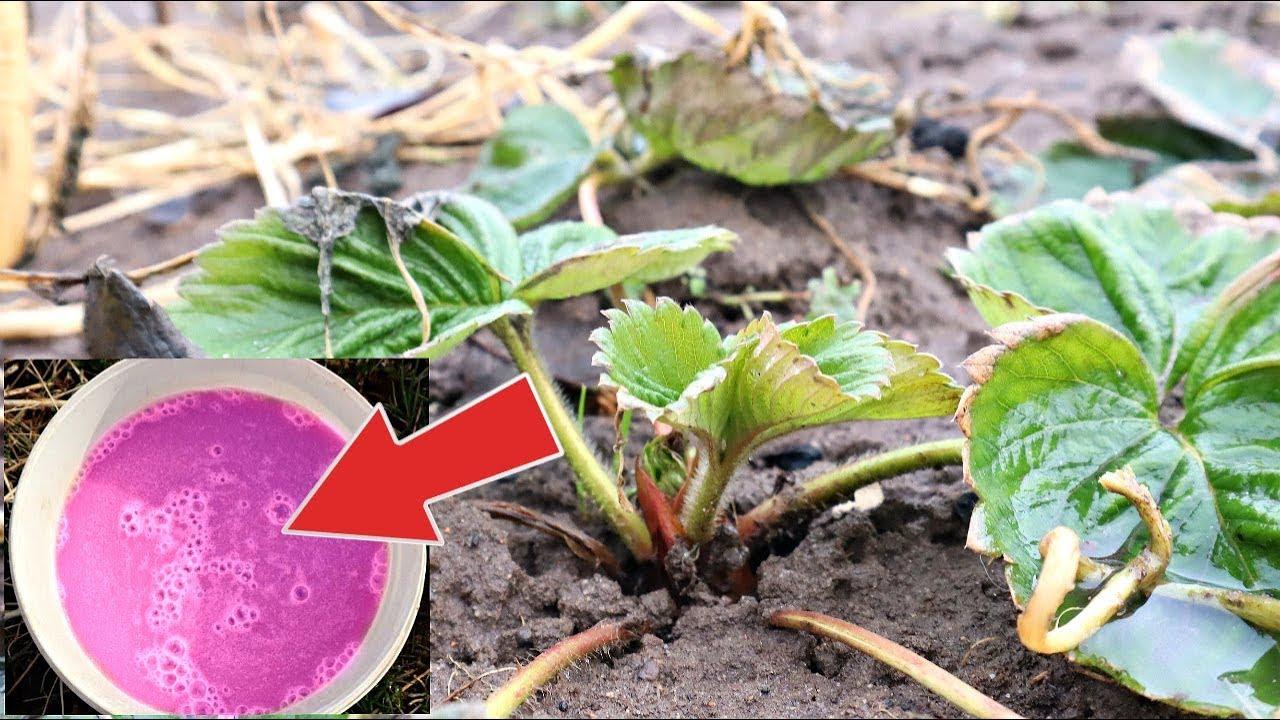 Весь долгоносик погибнет мгновенно! Обдайте этим клубнику весной от всех вредителей и болезней!
