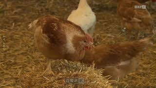 Kärnten: Bio-Hühnermastställe ORF Landwirt schafft