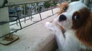 Cavalier King Charles Spaniel Puppy Barking
