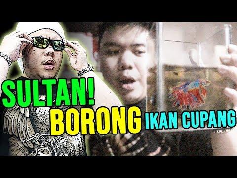 SULTAN BORONG IKAN CUPANG DIWAN BIAR TRENDING 1 !!!