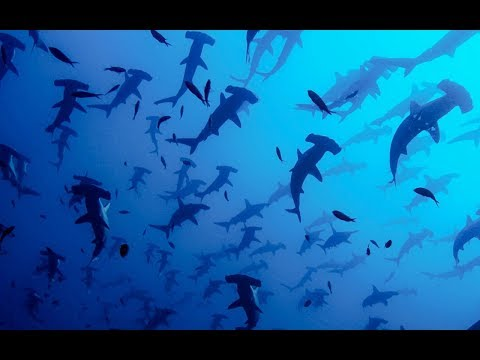 The Complex world of Hammerhead Sharks' Mating Rituals | BBC Earth