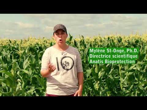 Utilisation de drones dans la lutte biologique à la pyrale du maïs