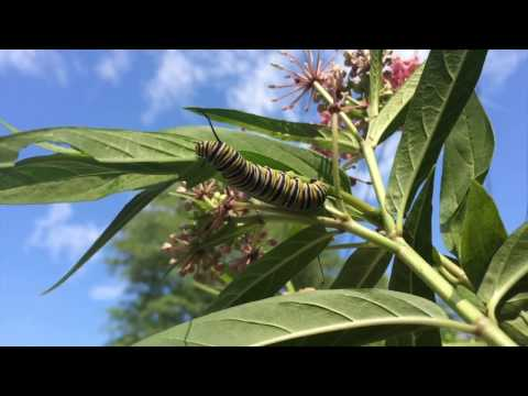 Tropical milkweed and Monarch butterflies