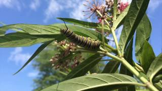 Tropical milkweed and Monarch butterflies