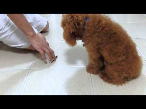 Amber Toy Poodle - Teaching your dog 'Down'