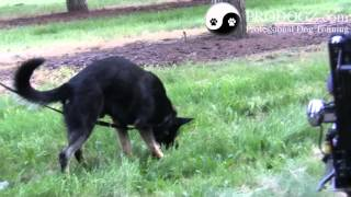 Dog Obedience Class Medford Oregon: Zito Ipo Tracking