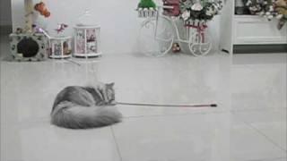miyuki funny cat thumbnail
