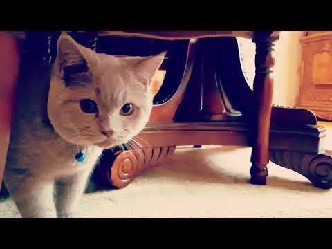 British shorthair cat. Preparing to hunt :)