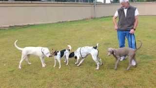 Dogo Argentino Vs Braque Francais Vs  Weimaraner Dog Fight