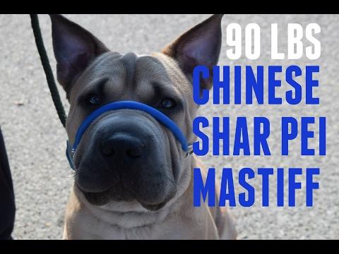 90 Lbs Chinese Shar Pei Mastiff Attacks Leash- Dog Whisperer BIG CHUCK MCBRIDE safecalm.com