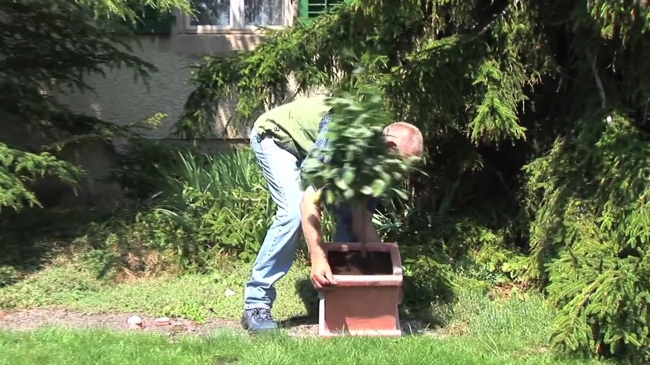 zitruspflanzen umtopfen und pflegen - youtube, Gartengerate ideen