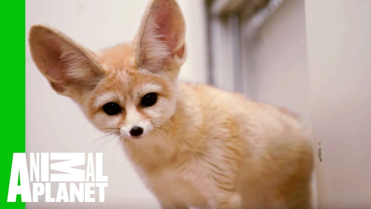 Fennec Fox Pet Cute