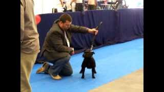 Staffordshire Bull Terrier Exposiciones Best In Show Zudhell Brenda Pink