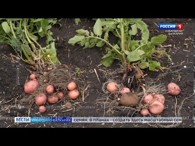 Репортаж 03.12.2020 г. Вести КБР. В Зольском районе выращивают картофель который теперь