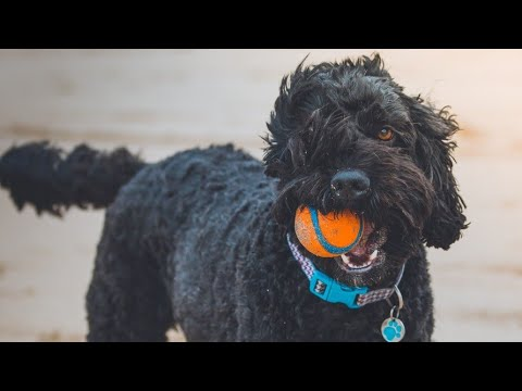 Amazing Facts on Poodle Dog | In Hindi | Dog Facts | Animal Channel Hindi