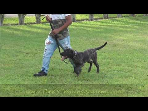 Max with Basic Obedience - presa canario - The K9 Training Academy