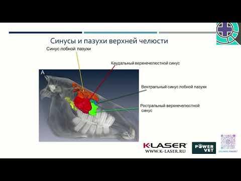 Ксения МАРЦЕВА: Многоликий синусит - методы его диагностики и лечения (у лошадей)
