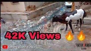 Cow Run Before Qurbani 2020 Funny ft. Anaari Qasai
