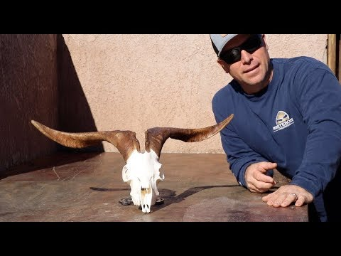 HOW TO CLEAN A SPANISH GOAT SKULL
