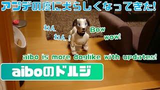 日を追う事に犬らしくなってきたaibo🐶 - I think Aibo has become more and more like a real dog recently. 【アイボ】