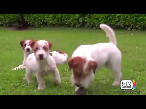 Il Carattere Del Jack Russell Terrier